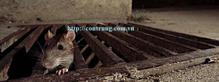 Chuột có thể đào hang ẩn nấp ở mọi nơi