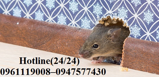 Chuột luôn ẩn nấp ở những ngóc ngách trong nhà mà chúng ta không thể xử lý được bằng các biện pháp thông thường